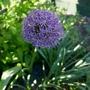 Allium_mars_2020