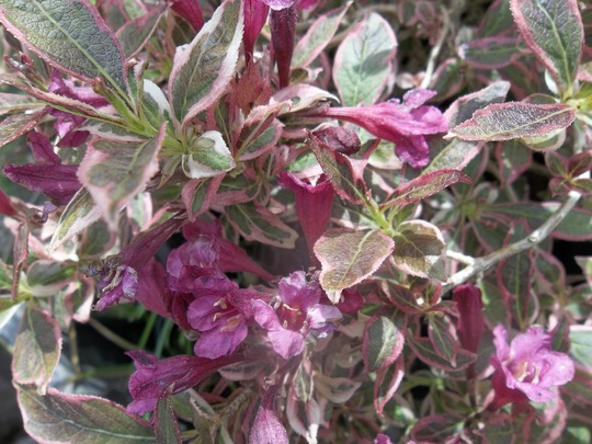 Weigela 'Monet'