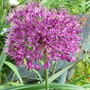 Allium Purple Sensation (Allium hollandicum (Ornamental onion))