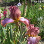 Tall Bearded Iris Afternoon Delight (For my File) (Iris germanica (Orris))