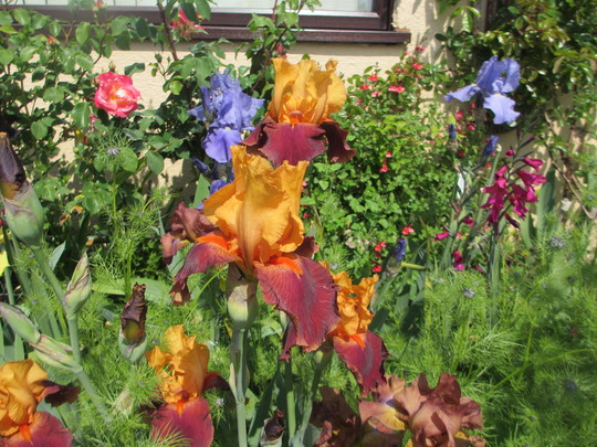 Torero (Bearded Iris)