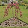 Malus 'Royal Beauty' in full bloom