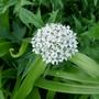 Allium_nigrum_2020