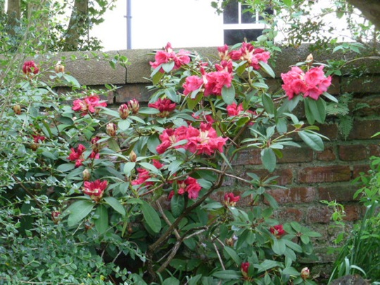 Rhododendron ? 'Elizabeth'
