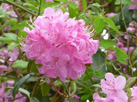 Pink/lavendar rhododendron.