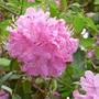 P1300406_pink_rhoddo