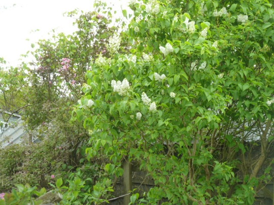 White Lilac Tree.