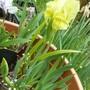 Iris ?lutescens