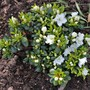 Rhododendron obtusum 'Snowpearl'