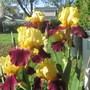Blatant: Bearded Iris