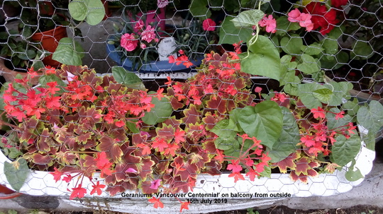 Geraniums 'Vancouver Centennial' on balcony from outside 15th July 2019 (Pelargonium zonal)