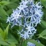 Amsonia_ciliata_close_up_2020