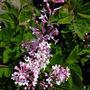 Lilac flowers emerging.. (Syringa josee)