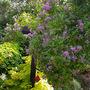 Chilean potato vine spreading and flowering nicely (Solanum crispum (Chilean potato tree))