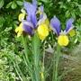 P1070568dutch_iris