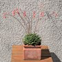 Sedeveria letizia Flowering