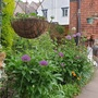 Alliums Peonys then roses at the back of peonys neither in flower as yet.