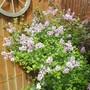 Scented dwarf Lilac