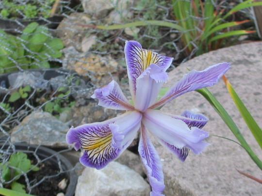 Iris tenax? (Iris tenax?)