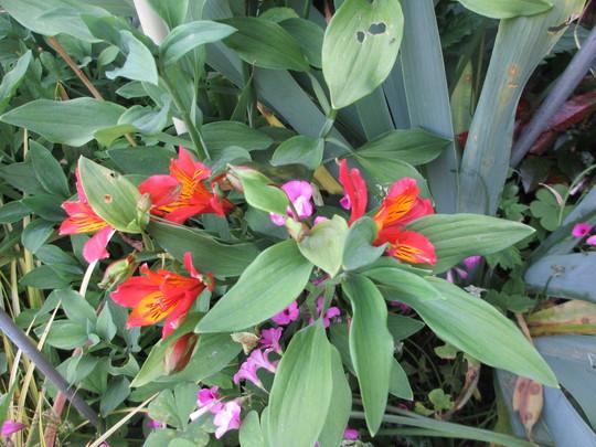 Alstroemeria Louise (Alstroemeria)