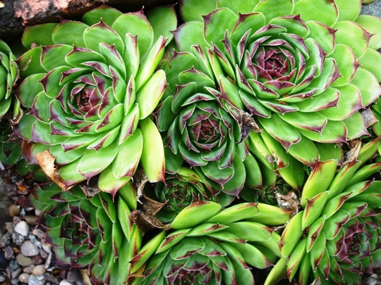 Sempervivum (Sempervivum tectorum (Common Houseleek))