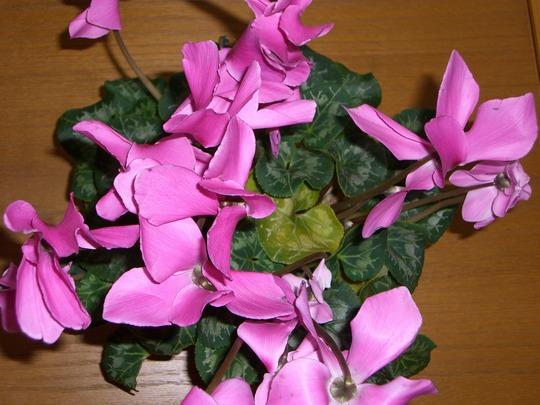 Plant (Cyclamen persicum (Cyclamen Victoria (fimbriata type)))