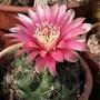 Flowering Argentinian cactus - Gymnocalycium baldiana