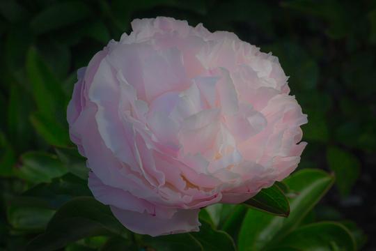 Peony lactiflora (Paeonia lactiflora (Peony))