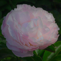Paeonia_lactiflora_in_bloom