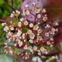 Little white flowers on the Photinia (Photinia x fraseri (Christmas berry))