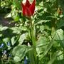 Tulipa sprengeri - 2020 (Tulipa sprengeri)