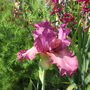 Tall Bearded Iris Ambroisie (For my File) (Iris germanica (Orris))