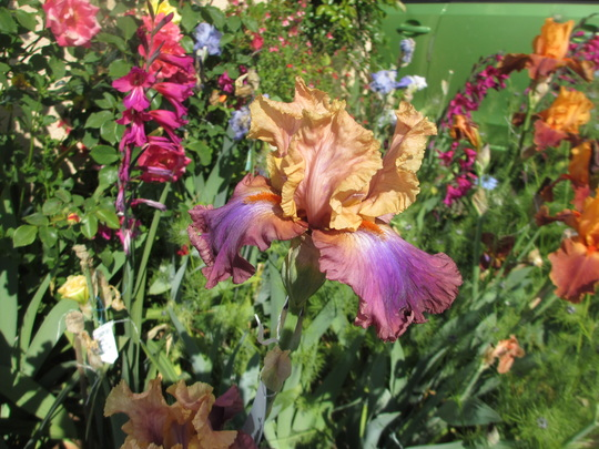 Tall Bearded Iris Pétillant   (Iris germanica (Orris))