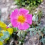 First little flower on this rock rose (Cistus incanus (Mauve Rock Rose))