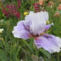 Tall Bearded Iris Epee Violette (For my File) (Iris germanica (Orris))