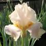 Bearded Iris Aka 19AL7