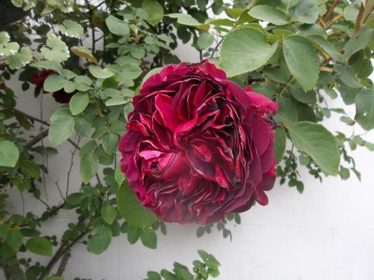 Rose this morning