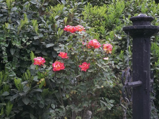 Roses this morning.