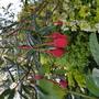 Crinodendron...