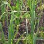 My garlic plot (Garlic)