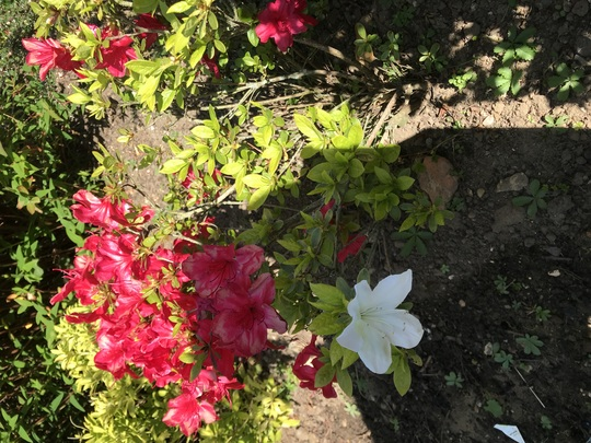 Red and white on the same Azalea plant!