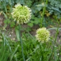 Allium_obliquum_2020