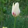 Tulipa_marjolettii_2020