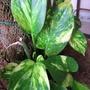 A garden flower photo (Epipremnum Aureum)