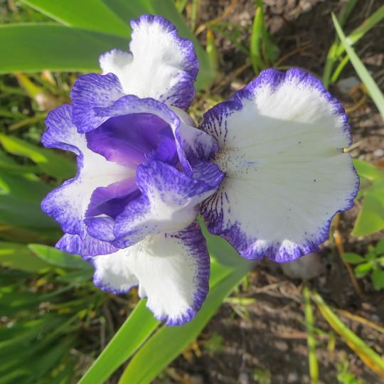 Bearded Iris  Rimaround (Iris germanica (Orris))
