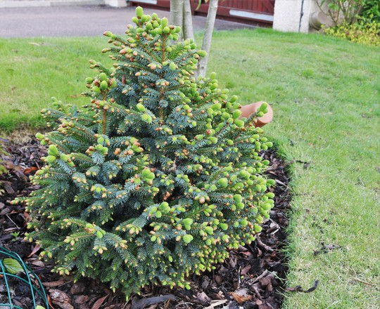 Picea sitchensis 'Papoose' (Picea sitchensis (Canad))