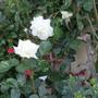 Rosa White Cockade (Rosa)