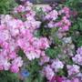 Fairy Rose (Rosa)