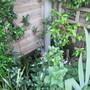 Crinodendron corner (Crinodendron hookerianum (Chilean Lantern Tree))