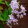 Solanum_crispum_glasnevin_.1